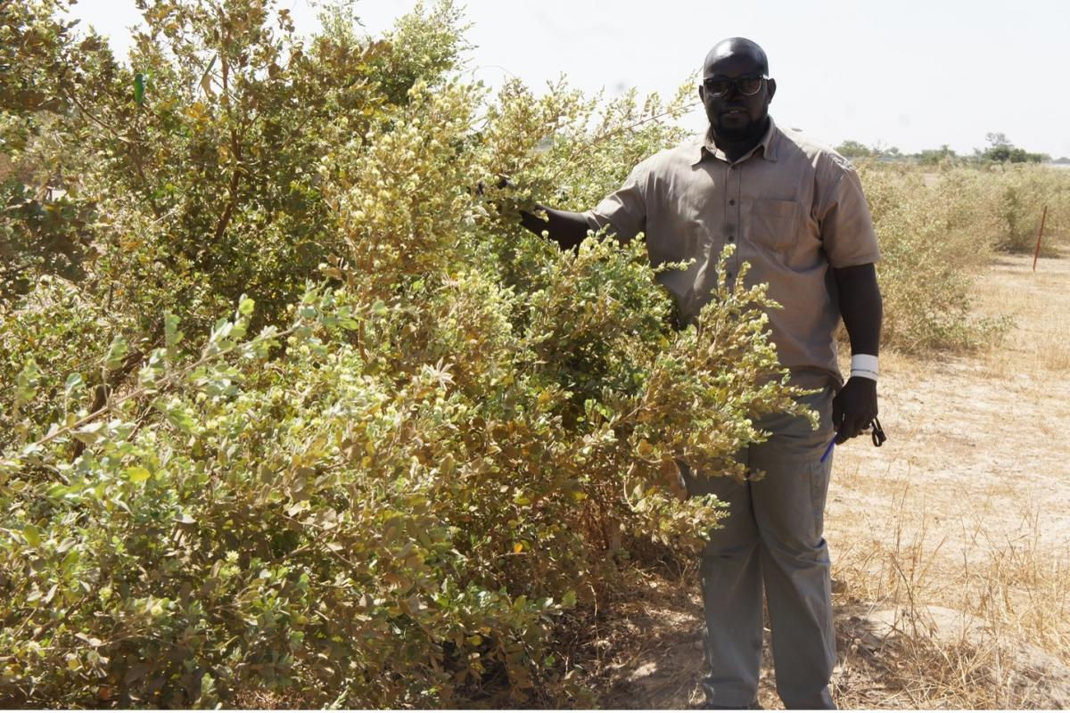 Annual regrowth of Guiera senegalensis, March 2019.