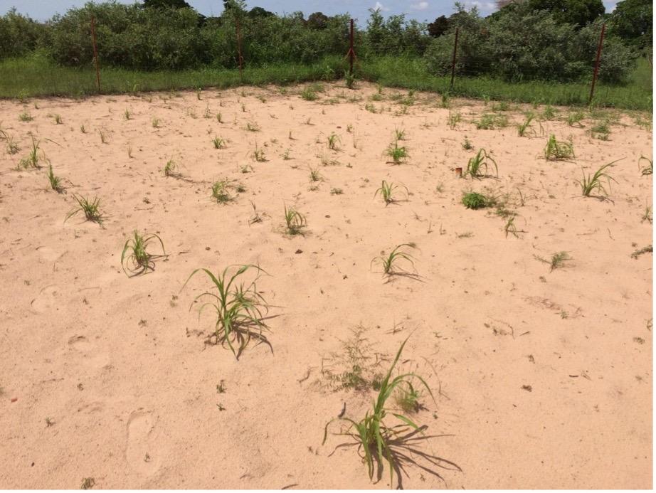 Millet crop grown without shrubs.